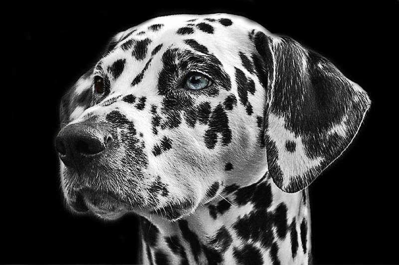 dalmatians-765138_960_720.jpg