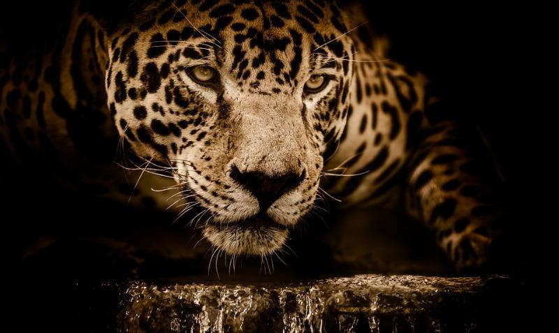 jaguar-2894706_960_720.jpg