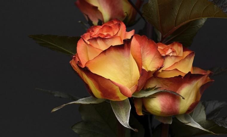rose-3063284_960_720.jpg