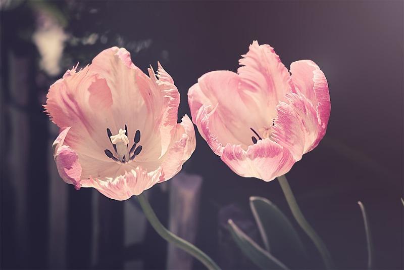 tulips-3339416_960_720.jpg
